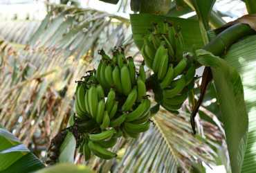 The Common Vulnerability That Fintech and Bananas Share